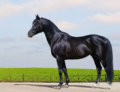 Trakehner black stallion — Stock Photo
