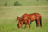 Sorrel foal with mare — Stock Photo