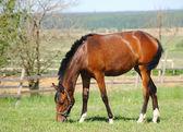 Bay horse — Стоковое фото
