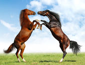 Battle horses — Stock Photo