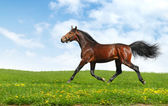 Hanoverian horse trots — Stock Photo