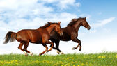 Horses gallop — Stock Photo