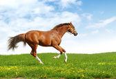 Sorrel trakehner foal gallops — Stock Photo