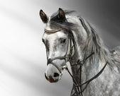 аравийская лошадь — Стоковое фото