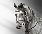Cavallo arabo — Foto Stock