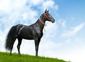 Black akhal-teke stallion — Stock Photo