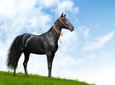 Black akhal-teke stallion — Stock Photo