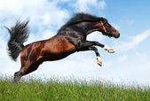 Arabian stallion jumps — Stock Photo
