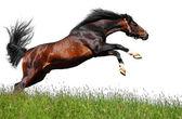 Stallone arabo salti — Foto Stock