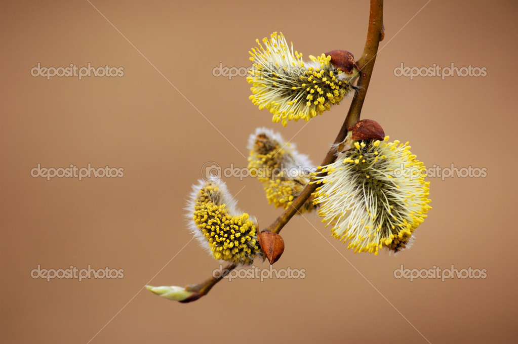 Blossoming pussy-willow on yellow background  — Stock Photo #1250657