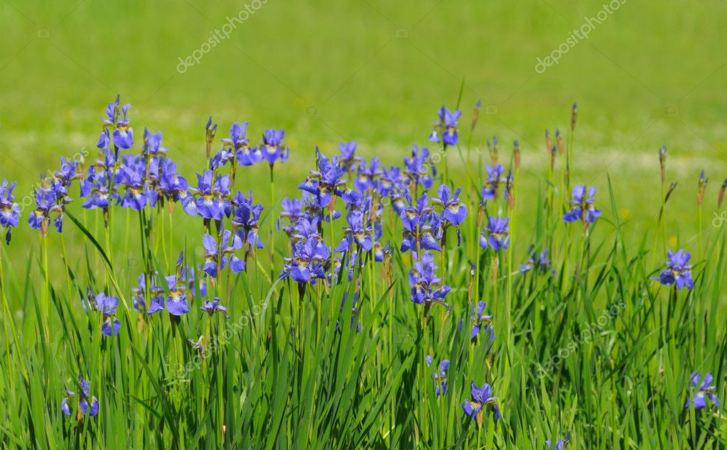 Blue iris on green background — Stock Photo #1252856