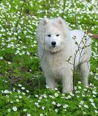 Samoyed pies — Zdjęcie stockowe