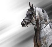 Dapple-grey arabian horse — Стоковое фото