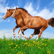 Two stallions gallop in field — Stockfoto
