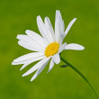 Single chamomile - Stock Photo