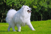 Samoyed dog - Champion of Russia — Stock Photo