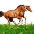 Trakehner stallions gallop in field — Stock Photo