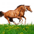 Royalty-Free Stock Photo: Trakehner stallions gallop in field