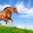 Stock Photo: Two stallions gallop in field