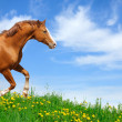Stallion gallops in field — Stock Photo #2378004