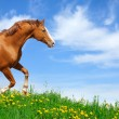 Stallion gallops in field - Stock Photo
