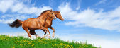 Two stallions gallop in field — Stock Photo