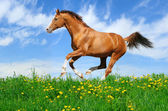 Stallion gallops in field — Stock Photo