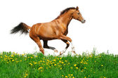 Trakehner stallion gallops in field — Stock Photo