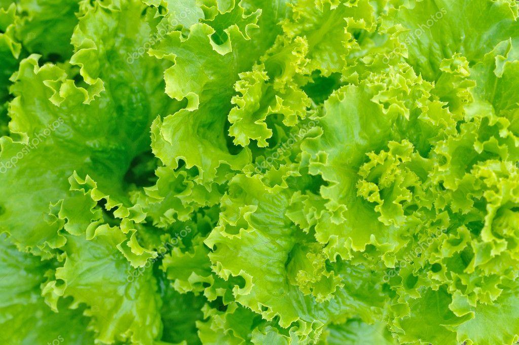 Листья зеленого салата фото