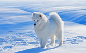 Puppy of Samoyed dog — Stock Photo