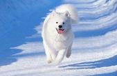 Cachorro de perro samoyedo — Foto de Stock