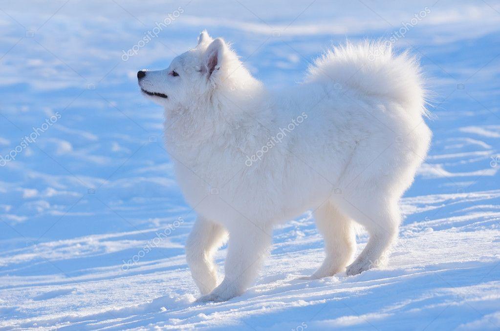 蓝色背景上的萨摩狗的小狗