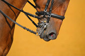 Dressage - muzzle of bay horse — Stock Photo