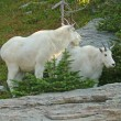 Mountain Goats - Stock Photo