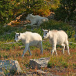 Mountain Goat Kids — Stock Photo #1223780