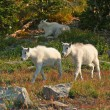 Stock Photo: Mountain Goat Kids