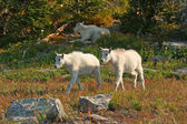 Mountain Goat Kids — Stock Photo