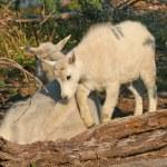 Mountain Goat with Kid — Stock Photo