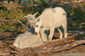 Mountain Goat with Kid — Stock Photo