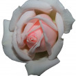 Rose Isolated — Stock Photo