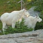 ������, ������: Mountain Goats
