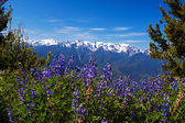Hurricane Ridge — Stock Photo