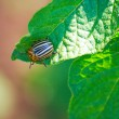 Royalty-Free Stock Photo: Beetle on the leaves