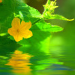 Cucumber flower above a water — Stock Photo