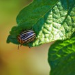 Colorado beetle — Foto Stock