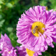 Aster and bee — Stock Photo