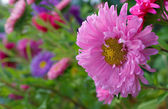 Asters on a flower bed — Stock Photo