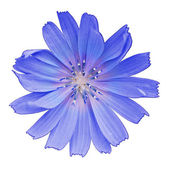 Chicory flower — Stock Photo