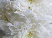 Chrysanthemum flower background — Stock Photo