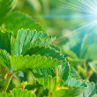 Leaves of strawberry illuminated the sun — Stock Photo
